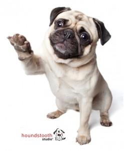 Cute Pug